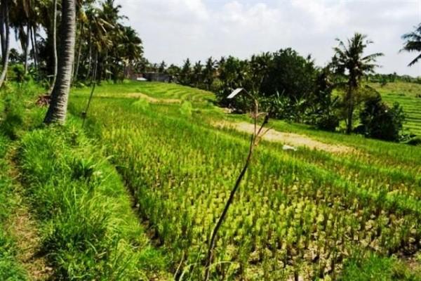 Dijual Tanah Di Canggu Bali, 10 are dekat pantai Pererenan – TJCG003