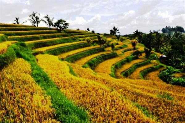 Dijual Tanah di Jatiluwih Tabanan View Fenomenal harga Murah – TJTB003