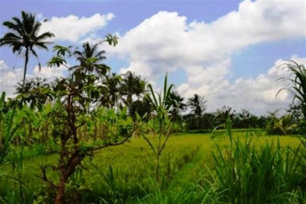 Tanah tepi jalan view sawah di Ubud ( 20 Are ) – TJUB002