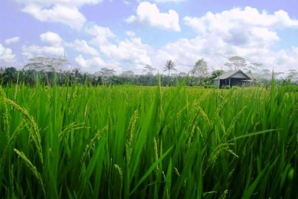 Tanah di Ubud dijual 15 are di Sebatu,Tegalalang – TJUB077