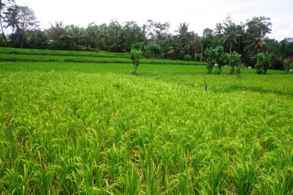 Tanah dijual di Ubud dengan view sawah yang cantik – TJUB120