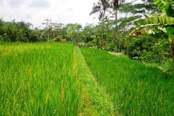 Jual tanah murah di Ubud 10 are di Tegalalang – TJUB128