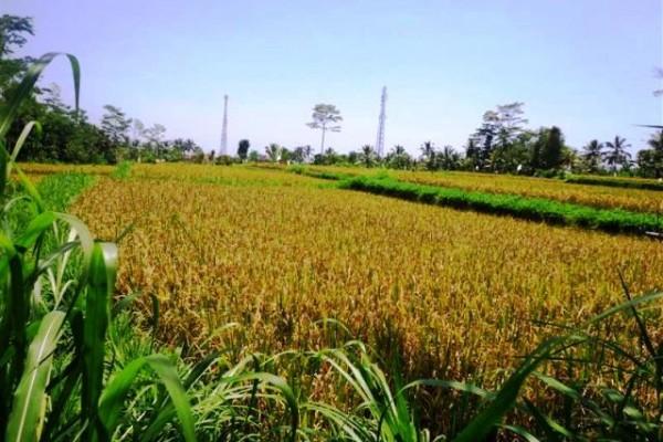 Jual tanah di Payangan dekat Sungai Ayung View cantik ke sawah dan tebing – TJUB131