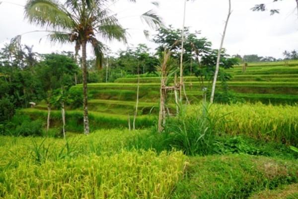 Dijual Tanah di Ubud Tegalalang 20 are dengan pemandangan Sawah @ Rp. 47 juta/are – TJUB135