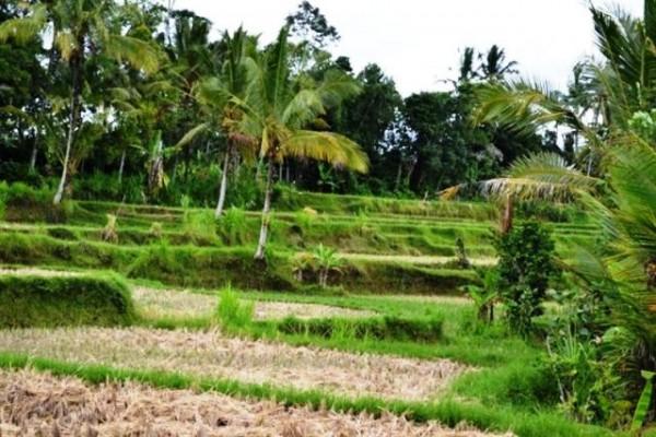 54 Are Tanah Dijual di Tegalalang Ubud, Bali – TJUB041