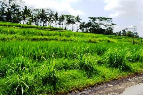 Dijual Tanah 23 Are 77 Juta / Are  Di Ubud Bali – TJUB046