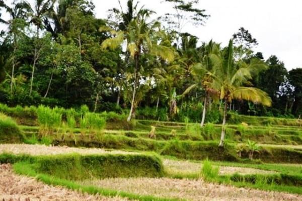 Tanah Dijual di Ubud dengan view cantik di Tegalalang, 54 are @ 85 jt – TJUB041B