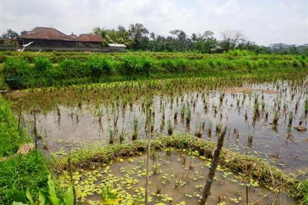 Dijual Tanah di Ubud Bali view sawah tepi jalan – TJUB121