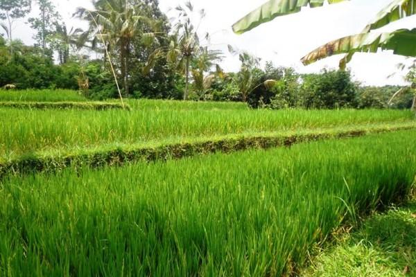 Jual tanah murah di Ubud 10 are di Tegalalang – TJUB128B