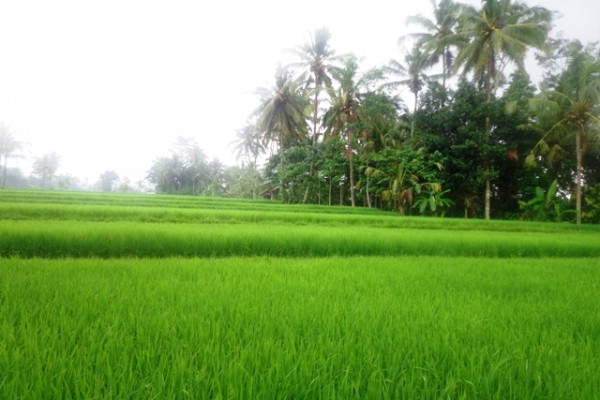 Tanah dijual di Ubud 28 are view sawah di Tegalalang Ubud – TJUB149