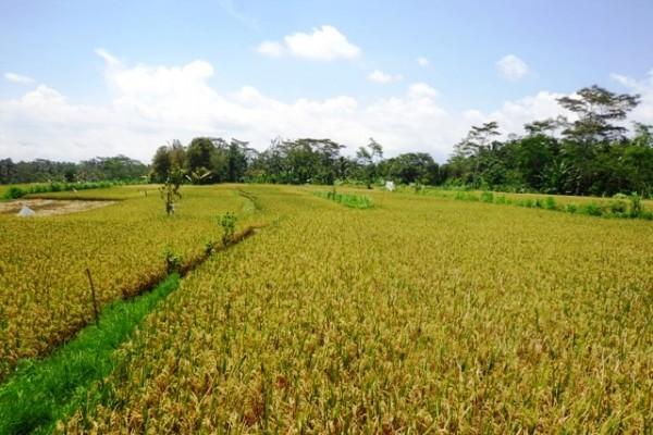Jual Tanah di Ubud dengan Pemandangan Sawah dekat Sentral Ubud – TJUB138B