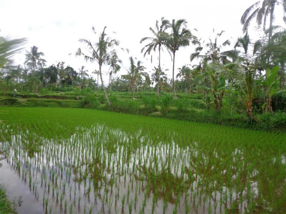 Dijual tanah di Ubud Taro Bali,view sawah dan kebun alami (TJUB165 )