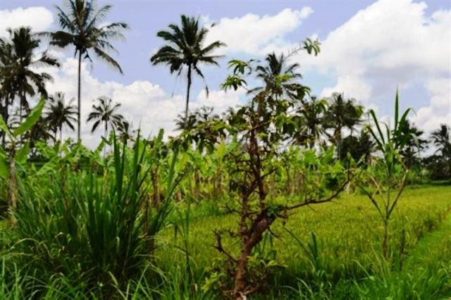 Tanah dijual di Ubud dengan pemandangan sawah - TJUB002B